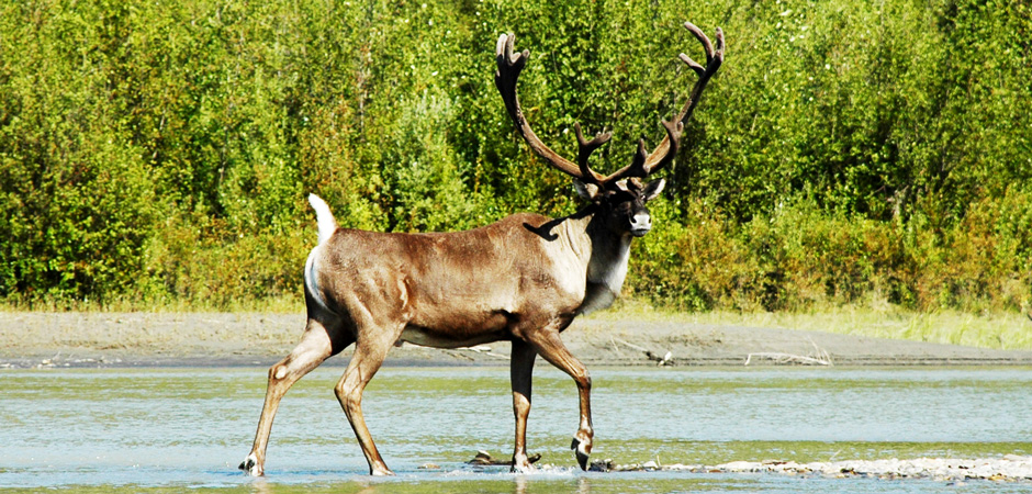 Majestic Bull Caribou
