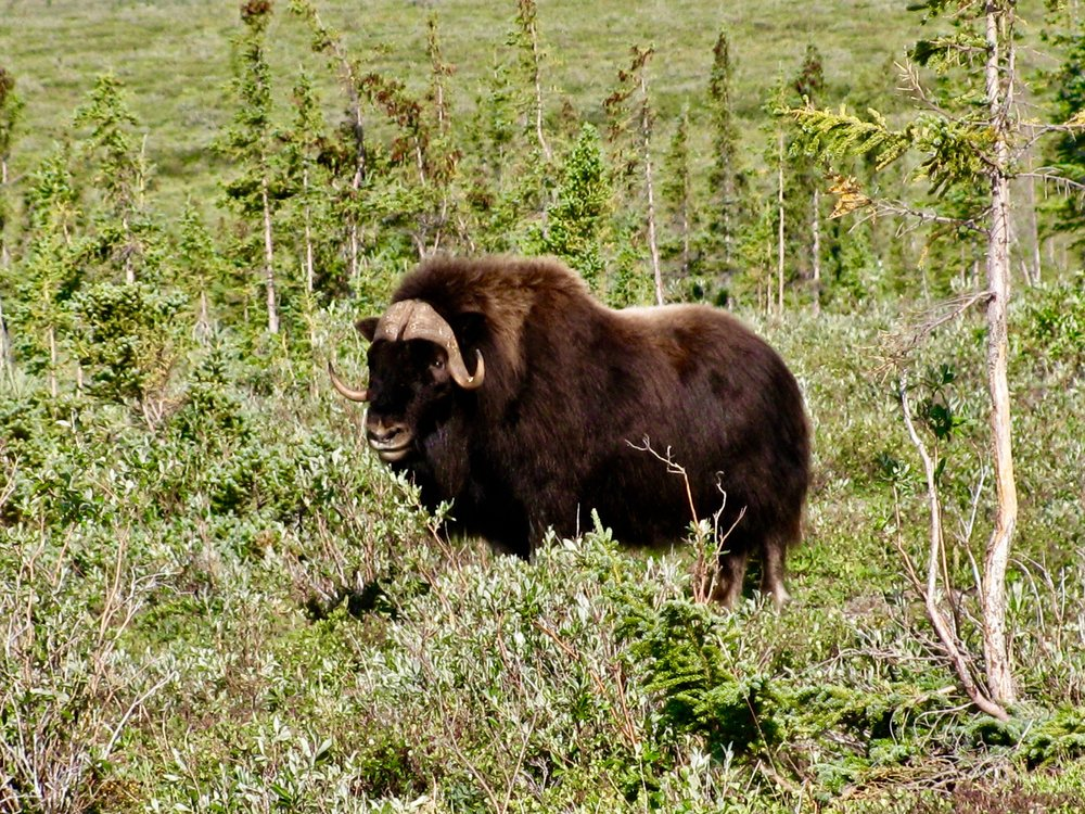 Coppermine River Muskox Bull 2.jpg