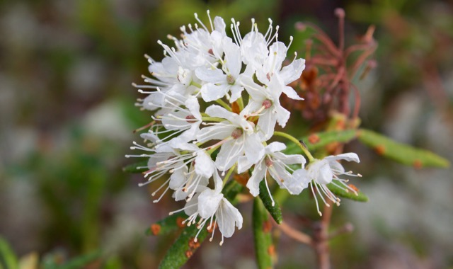 Nahanni River Labrador Tea Flower.jpg