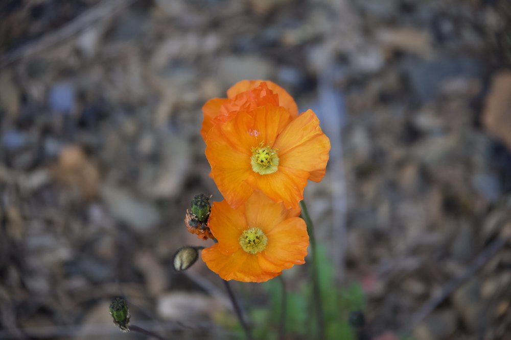 Delicate Poppies making an appearance in the high country of Nahanni National Park Reserve.