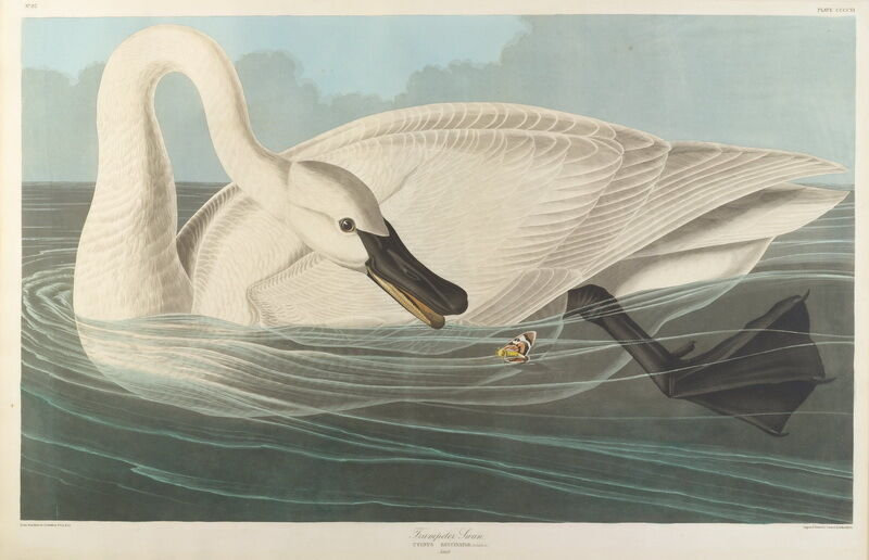 John James Audubon Trumpeter Swan   Source:   https://picclick.com/John-James-Audubon-Trumpeter-Swan-Giclee-Canvas-Print-222480725770.html