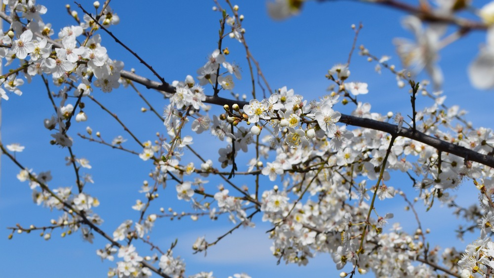 Iran-NW-Kaleybar-blossom.jpg