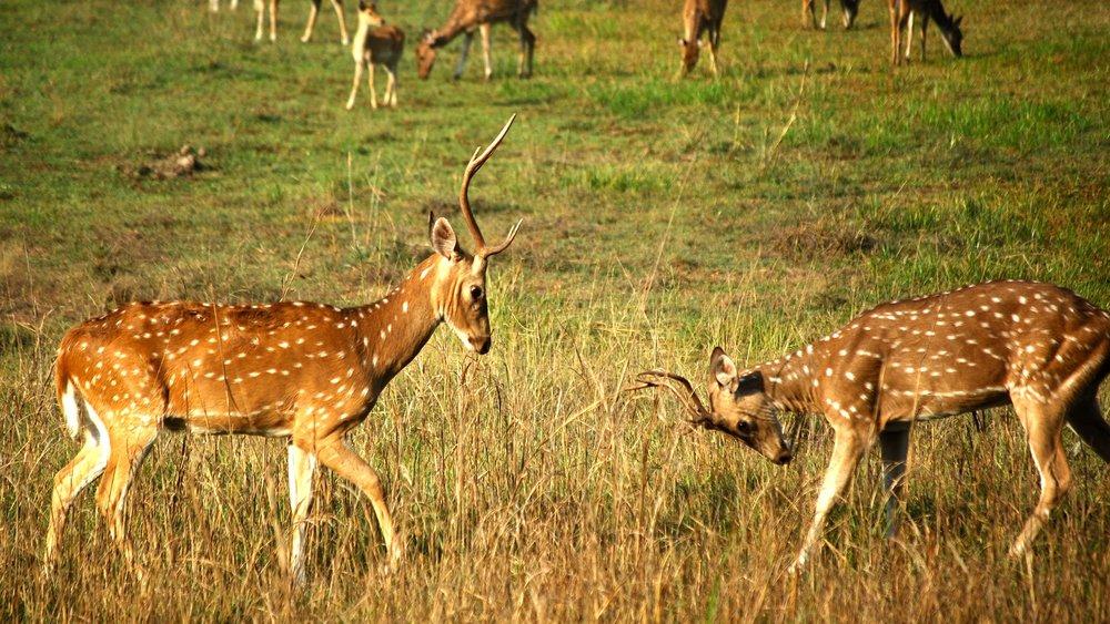 India-Madhya-Pradesh-Bhandavgarh-deer.jpg