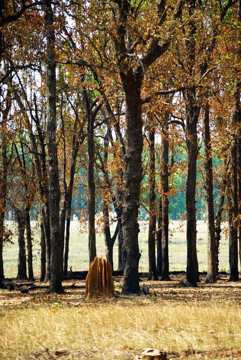 India-Madhya-Pradesh-Kanha-anthill.jpg
