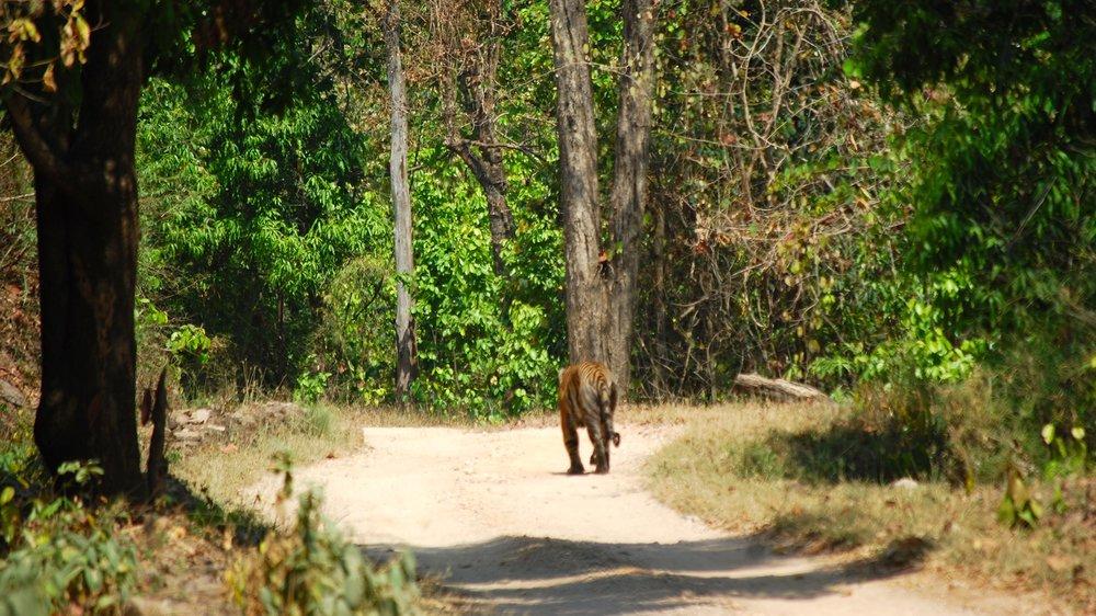 India-Madhya-Pradesh-Kanha-tiger.jpg