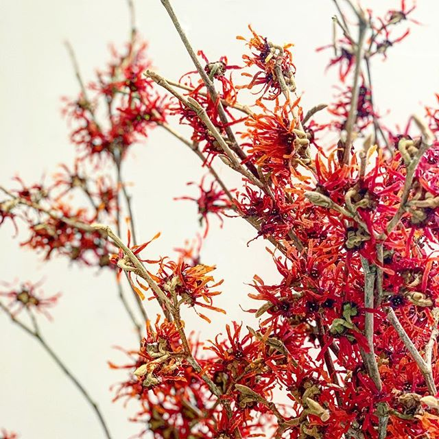 Warming up with the unique colors and textures of witch hazel blossoms • #hamamelis #specialorder #floraldesign #nicolascogrel
