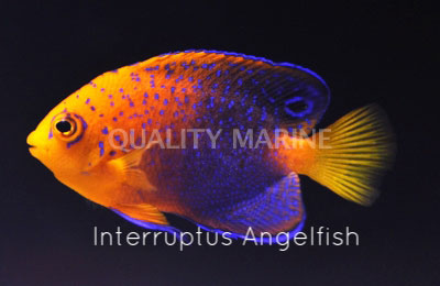 Copy of Interruptus Angelfish