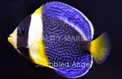 Copy of Scribbled Angelfish