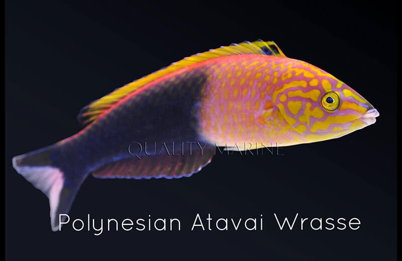 Copy of Polynesian Atavai Wrasse