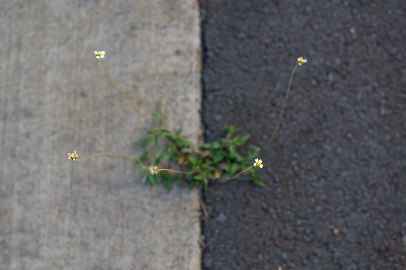 Growing wherever they please - Photo by Barb Toyama