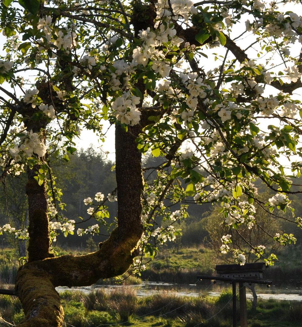 Spring apple blossoms.JPG