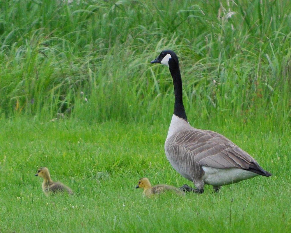 sprink goslings and goose.jpg