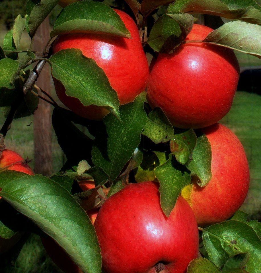 Apples from the farm.jpg