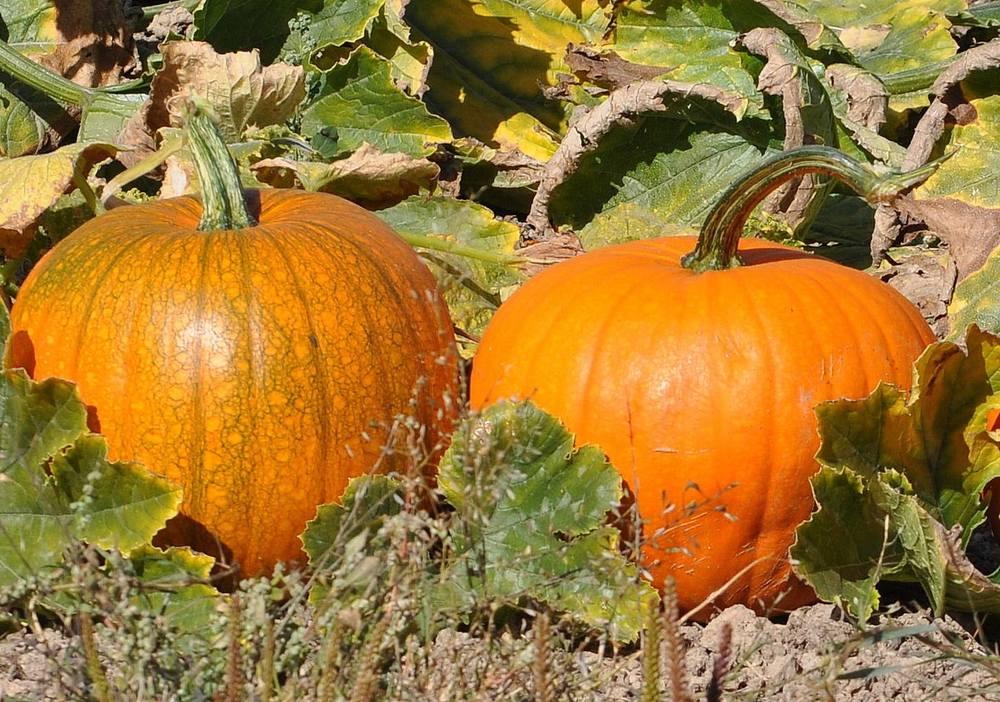 fall pumpkin patch.jpg