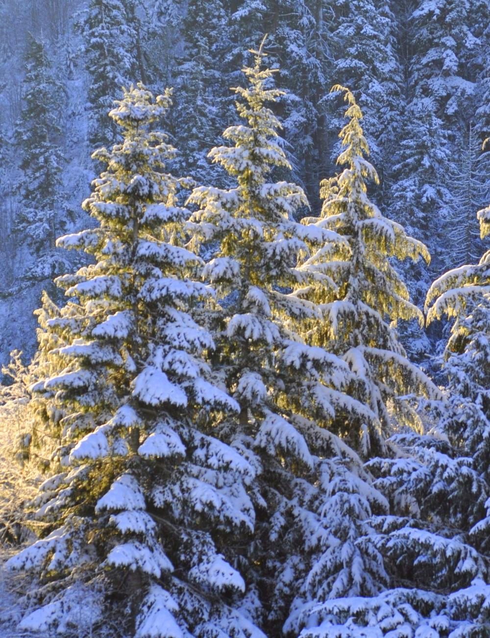 FIRST LIGHT ON SNOW FIRS.jpg