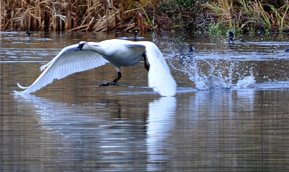 winter-trumpeter swan.JPG