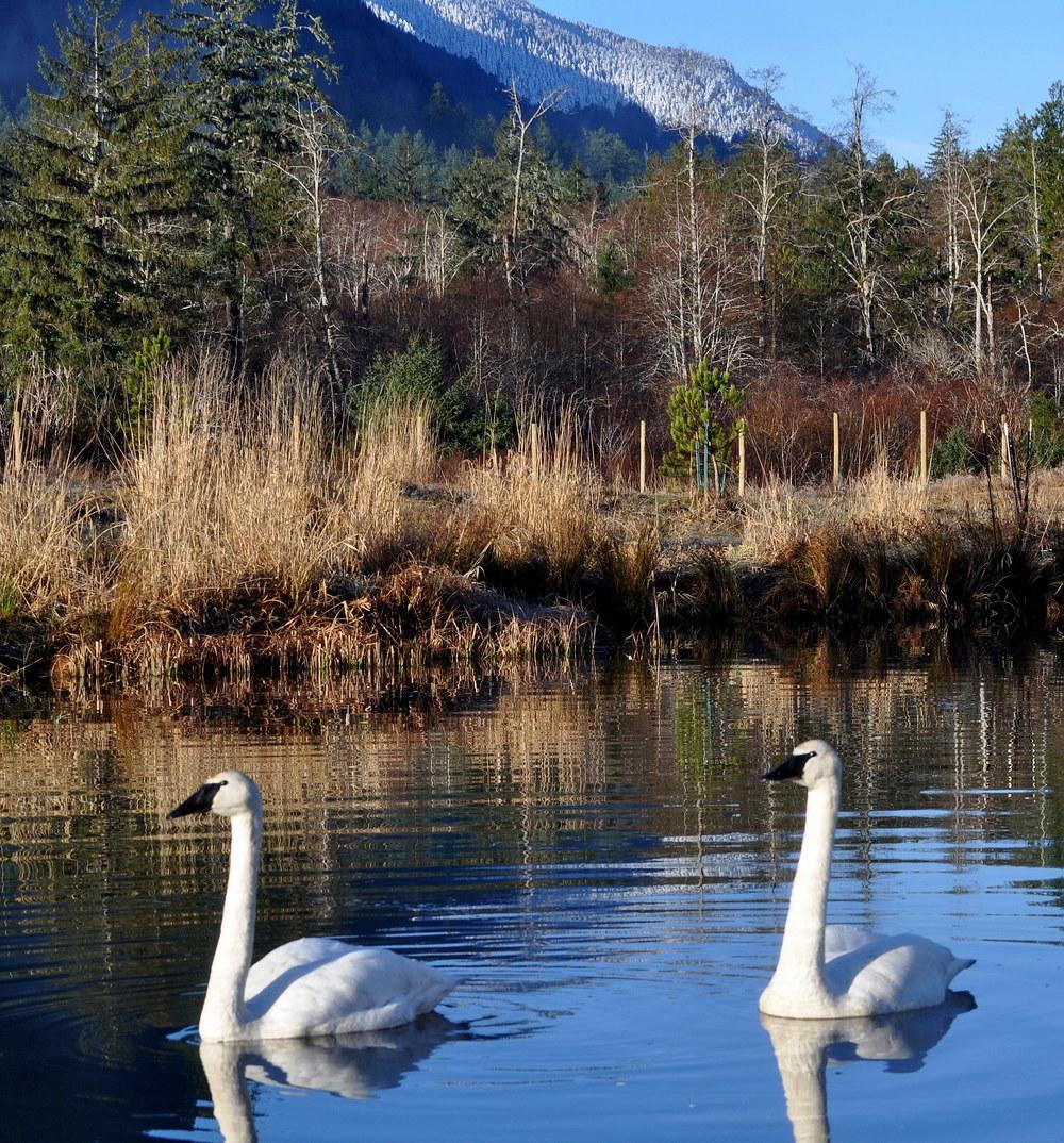 winter-SWANS ON SPRING LAKE WITH RIDGE.jpg