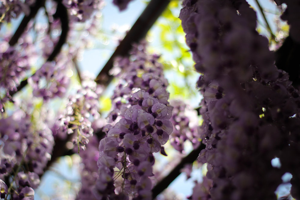 More wisteria than your body has room for.
