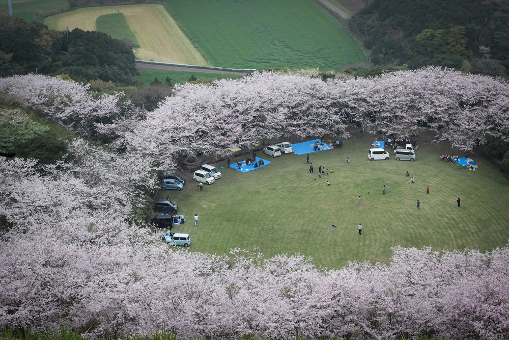 Hanami as seen from above. This is a field in Sakiyama that I think is one of the top hanami spots on the entire island.
