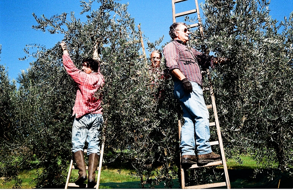 Our Italian harvesters.JPG