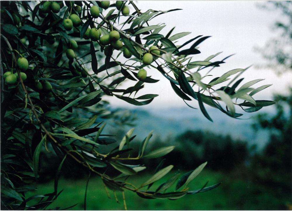 Olives2 copy.jpg