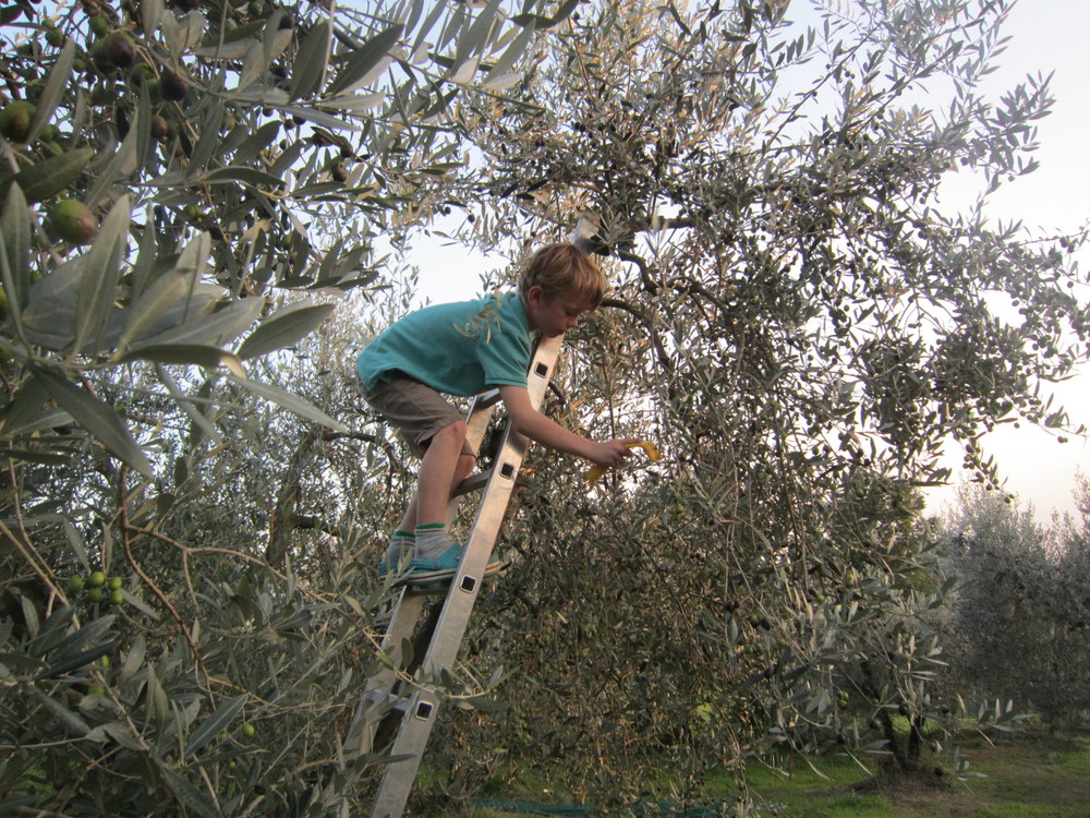Olive harvest child.JPG
