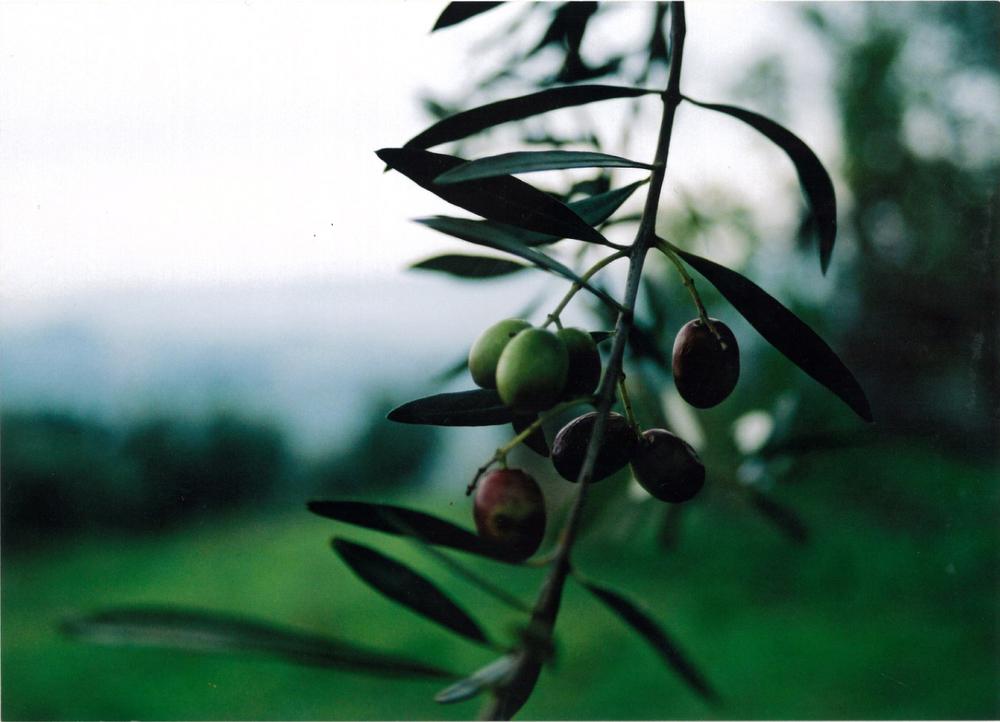 Olives1 copy.jpg