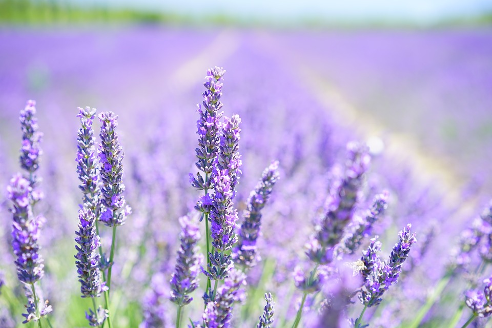 The Best Essential Oils for Travelling - Lavender