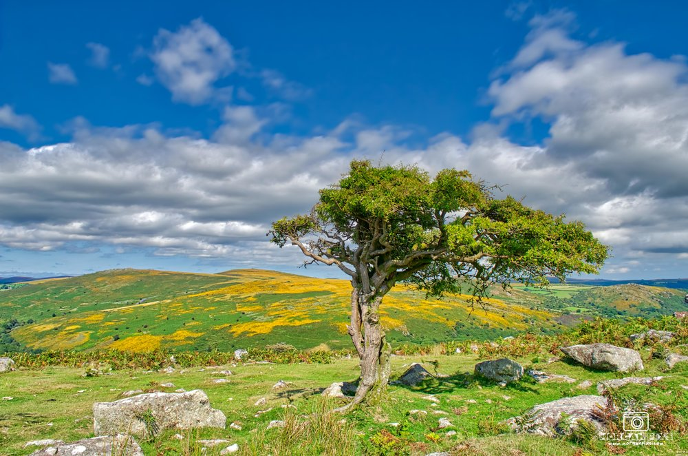 Loved the golden yellow heather on the moors in this photo with the weather beaten old tree.
