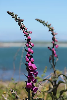 Isles of Scilly Wildflower Of The Week - Foxglove.