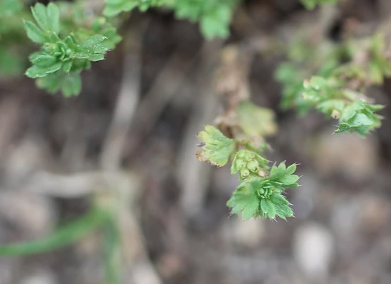 Isles of Scilly Wildflower Of The Week - Slender Parsley-Piert.
