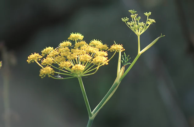 Isles of Scilly Wildflower Of The Week - Fennel.