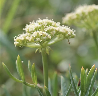 Isles of Scilly Wildflower Of The Week - Rock Samphire.