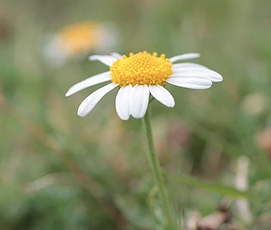Isles of Scilly Wildflower Of The Week - Chamomile.
