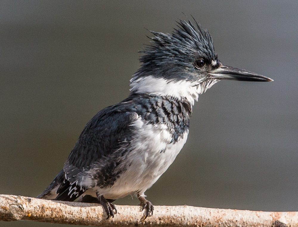 Belted Kingfisher by Ian Murray on Flicker.