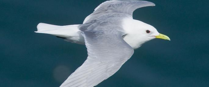 A Kittiwake (pictured), along with the Common Tern is now in danger of being lost as a breeding species in Scilly. Image courtesy of the Isles of Scilly Wildlife Trust.