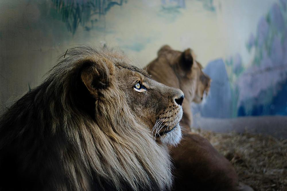 Pondering Lion