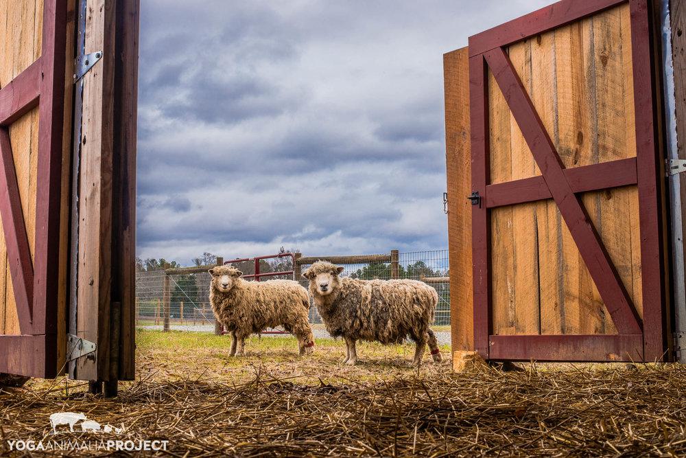 Piedmont Sheep Flock 12-14-15-13.jpg