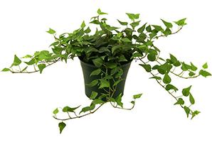 "6"" IVY PLANT $16"