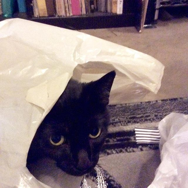 How to catch a cat.  Show it an empty bag. Done.  #cattraps #catsinbags #idontgiveameow