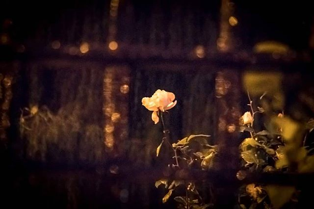 Lovely, interesting image of Spode Rose Garden at twilight by photowalker Mike Windsor, taken on our group photowalk on Wednesday