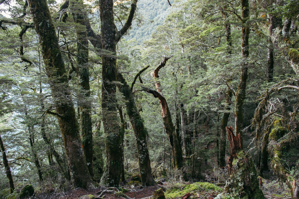 The stunning NZ beech forest around you makes it hard to keep your eyes in front of you and concentrate on the climb.