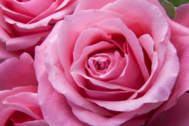 roses-194117_1280.jpg