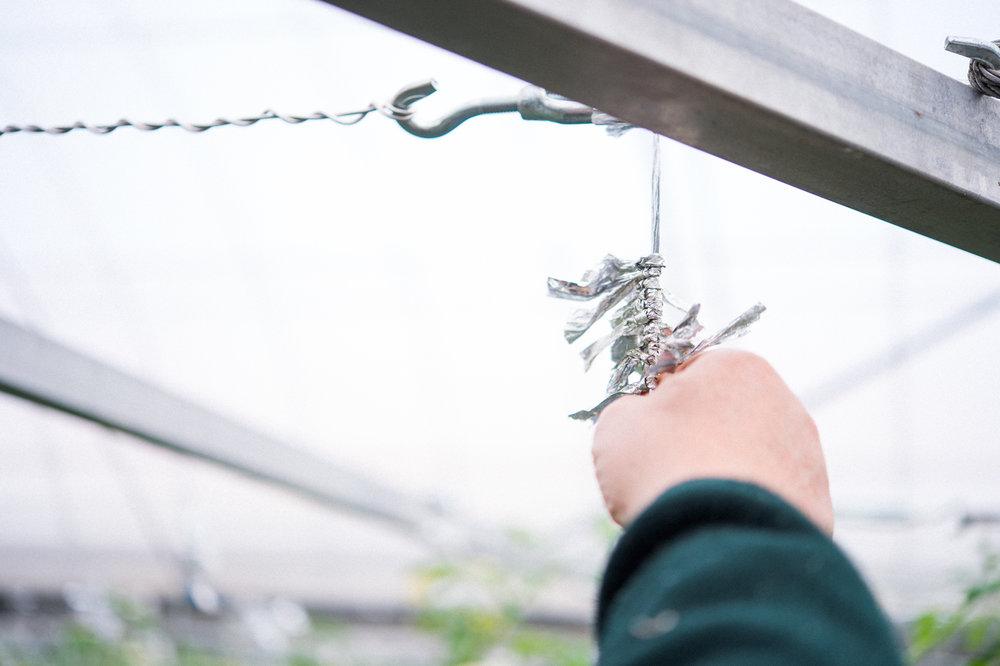 ミニトマトのつるを支えるために小田々さんが考えたつる止め。成長に合わせて簡単に場所を移動できる。 It's a handy gadget Odata made to support the vine of cherry tomatoes. It can be moved easily, adjusting as the tomatoes grow.
