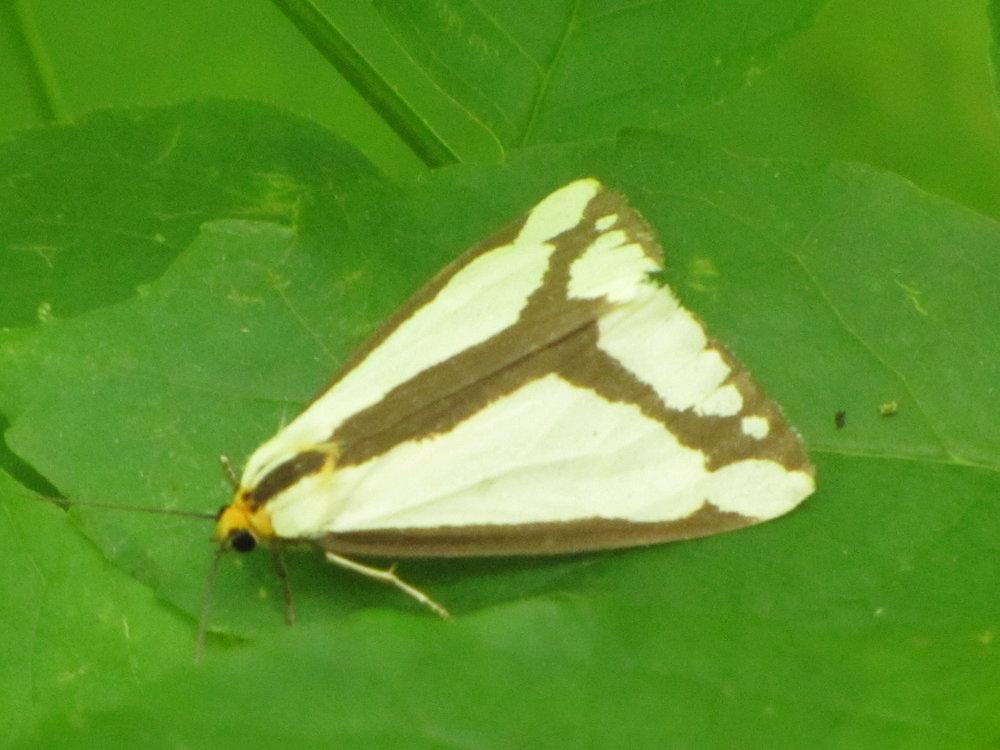 Le Conte's Hapola Moth