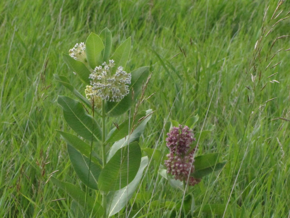 Common milkweed showing the white and purple varieties growing side by side.