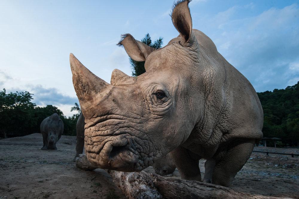 Rhino Conservation.jpeg