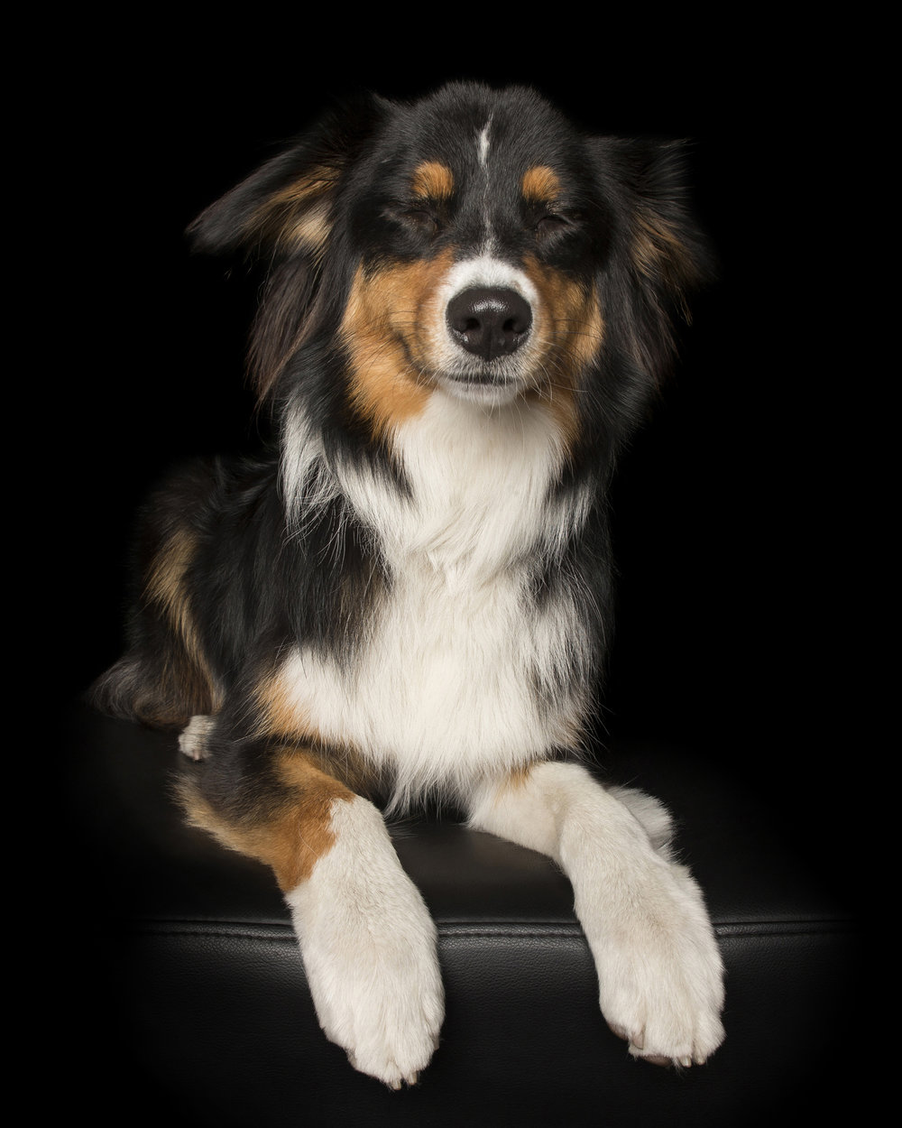 AustralianShepherd-forweb.jpg