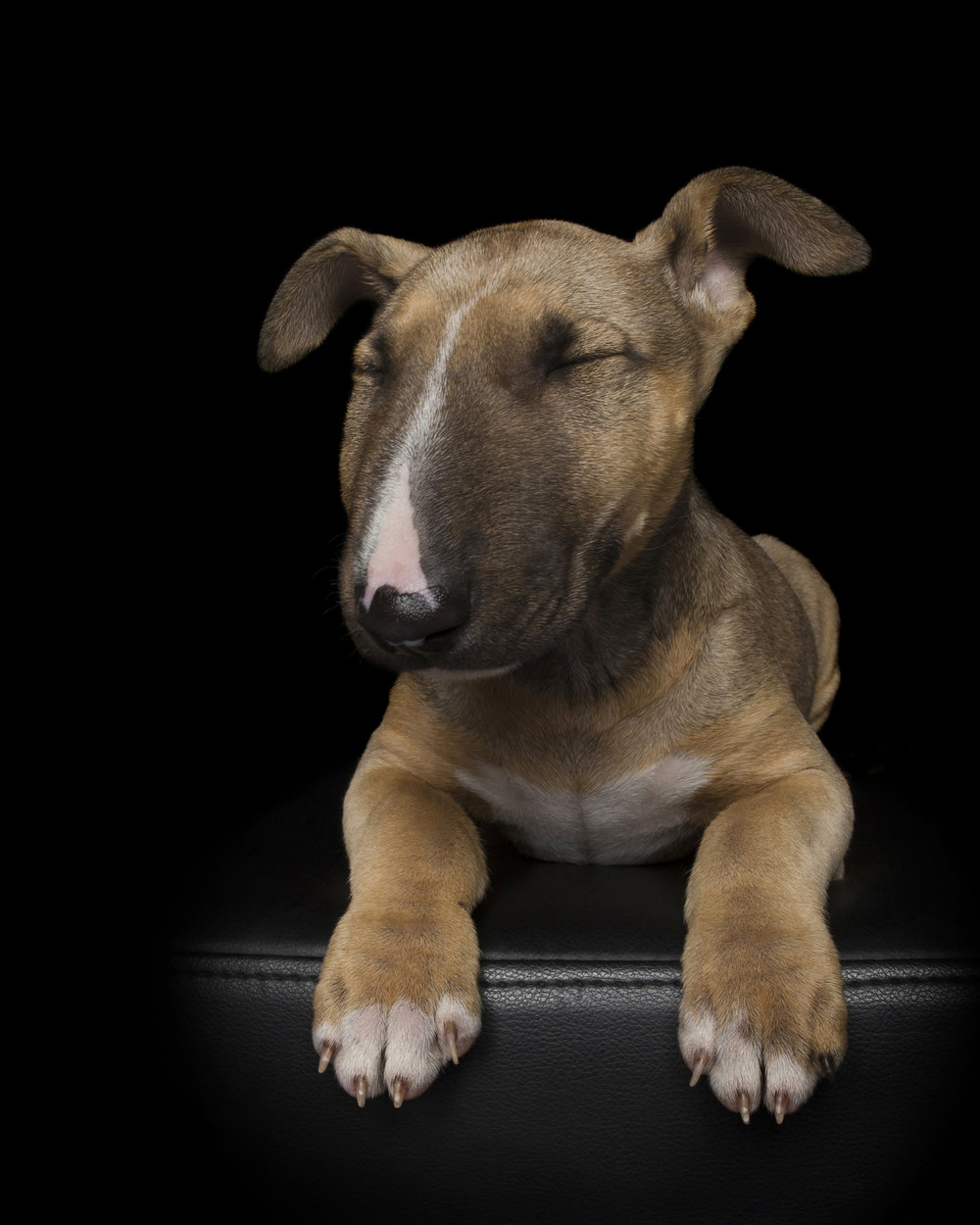 bullterrier-forweb.jpg