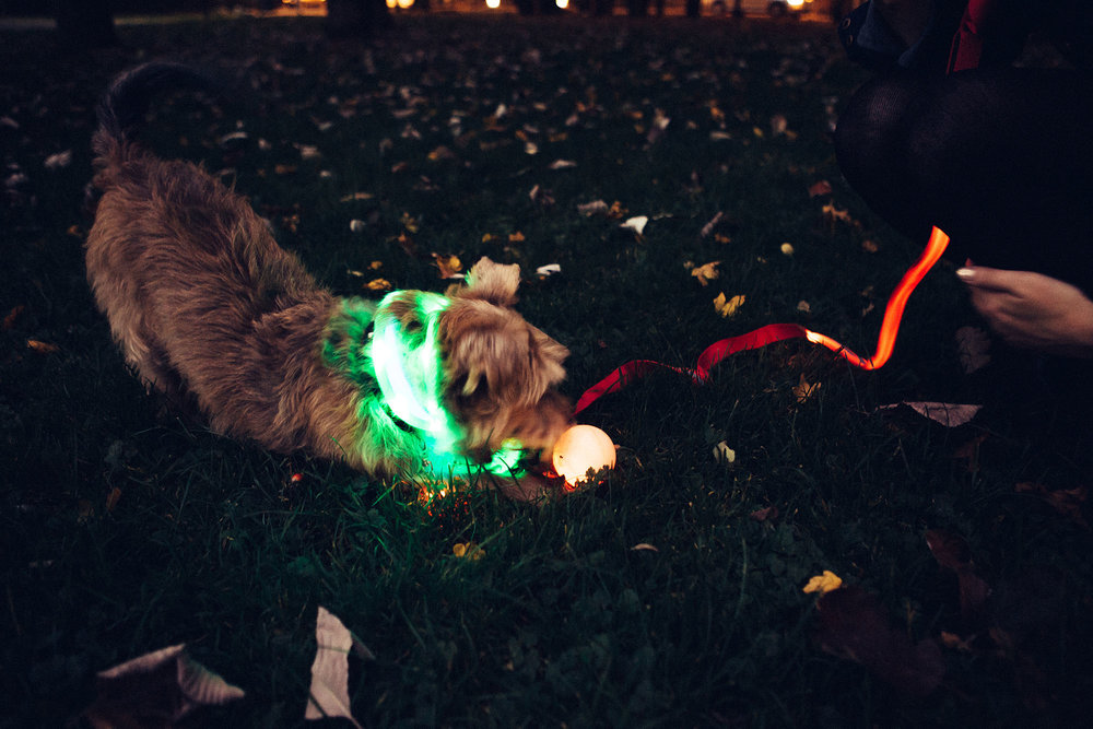 Disco Harry wears both collars (the LED and the safety collar), while waiting to have the Smart y'Ball thrown for him. He is on a Night Dawg lead, which we didn't like as much as the yellow one, because the light strip doesn't go all the way to the collar.